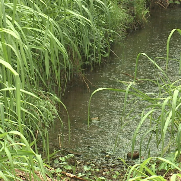 kaneohe overgrown ditch_172899