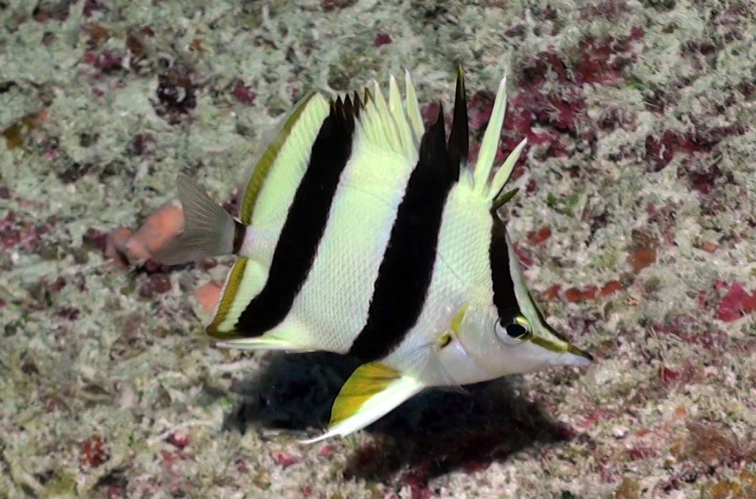 butterfly-fish-discovery_173850
