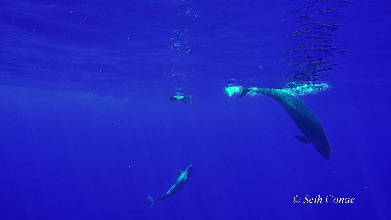 false-killer-whales-courtesy-seth-conae_174131