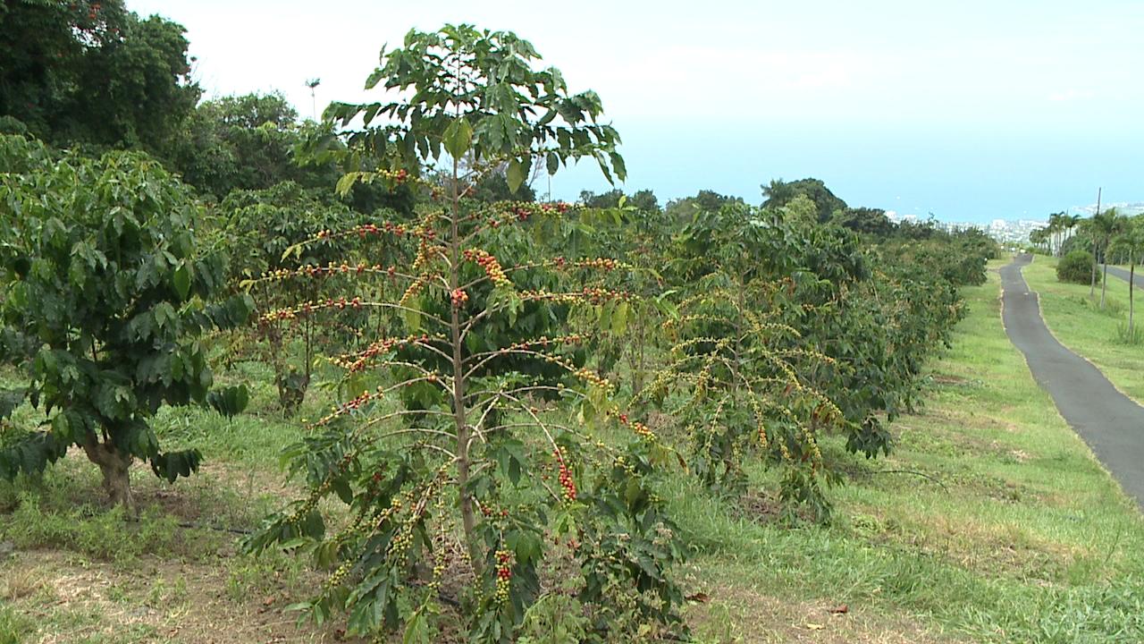 ucc-hawaii-coffee-farm-2_179319