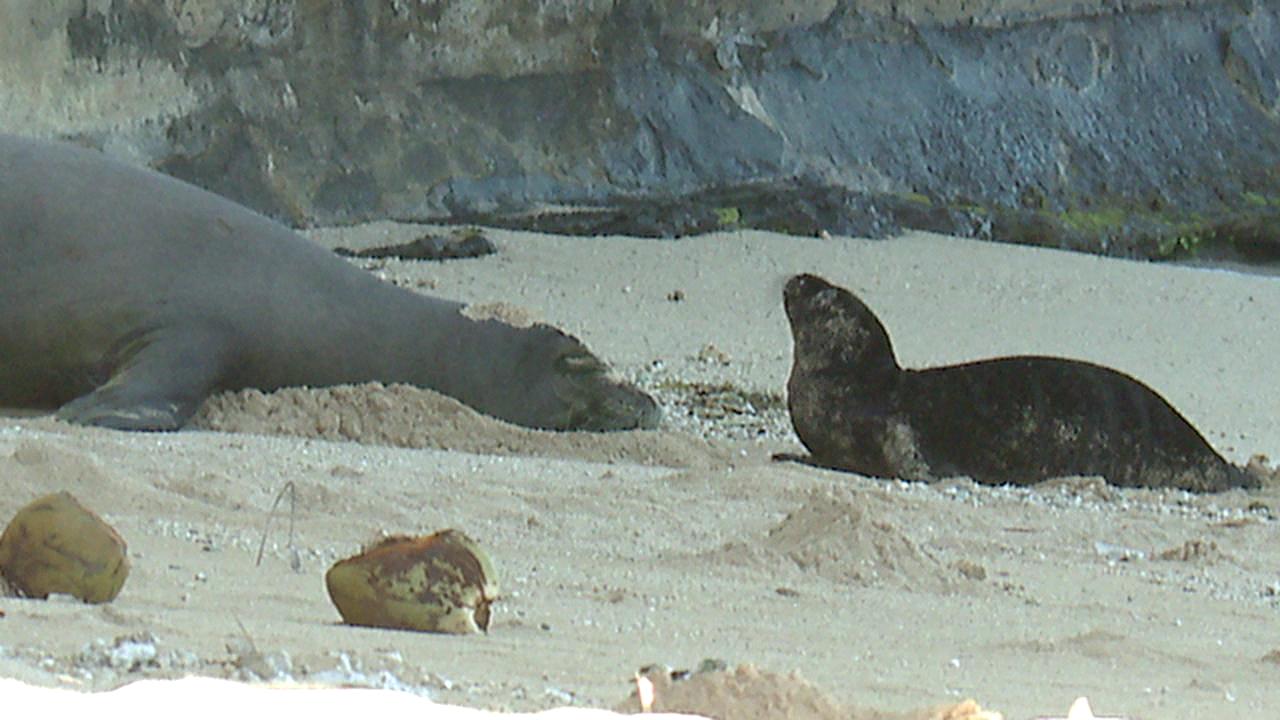 hawaiian monk seal pup waikiki_215444