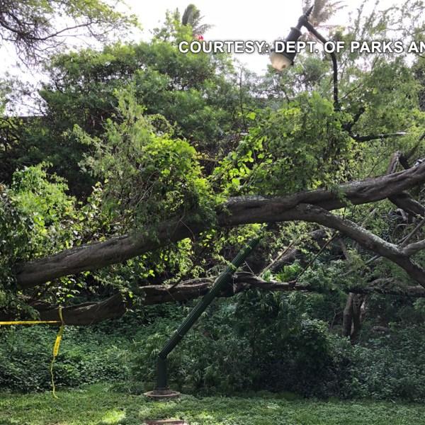 Kapiolani Park Fallen Tree_1519871960640.jpg.jpg