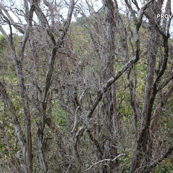 RAPID OHIA DEATH ON KAUAI COURTESY DLNR