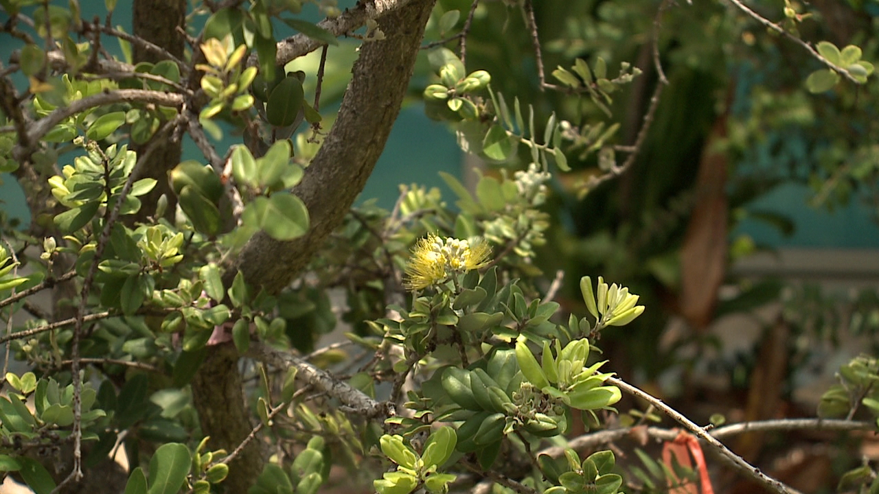 Fungus that causes Rapid ʻŌhiʻa Death detected on Oahu | KHON2