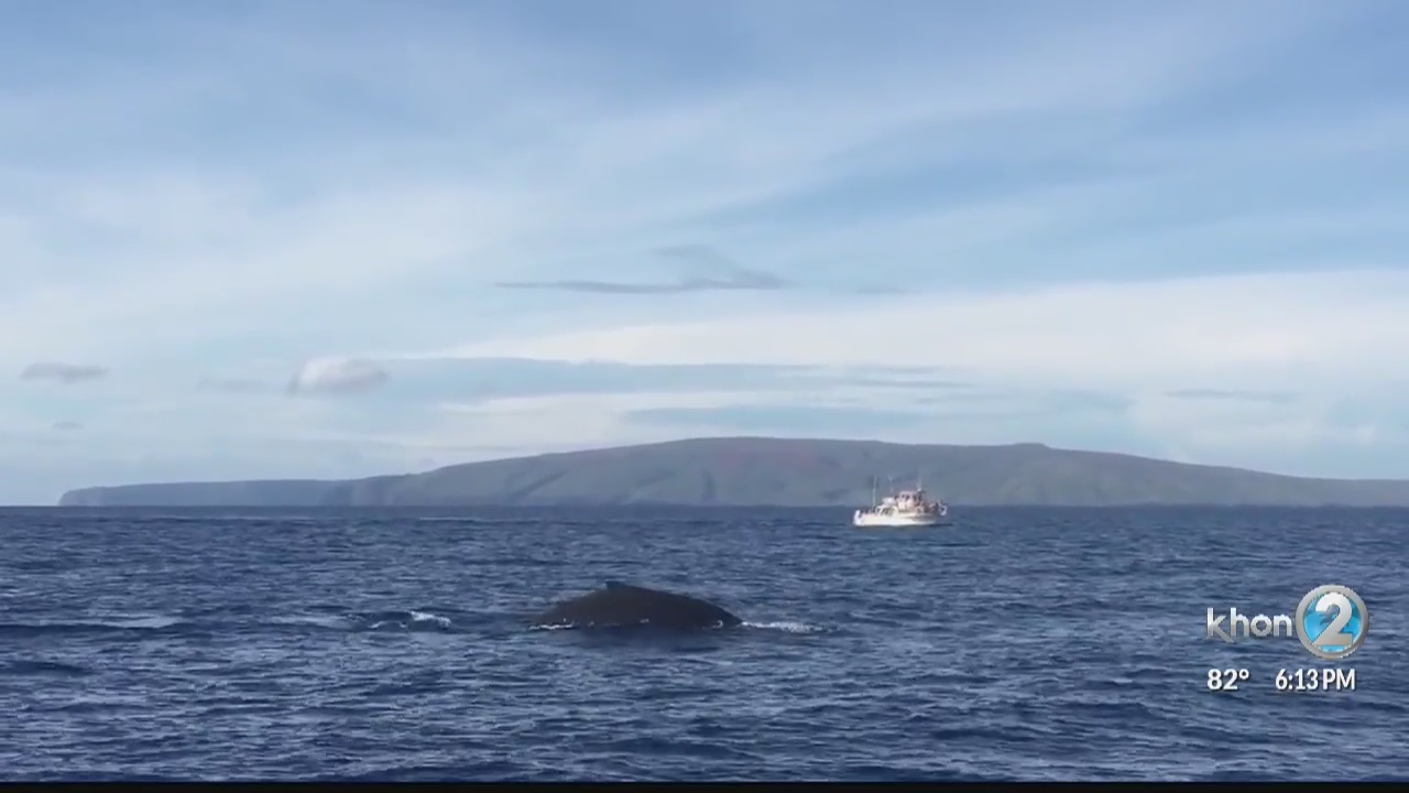 First_humpback_whale_spotted_in_Hawaiian_0_20181009042549