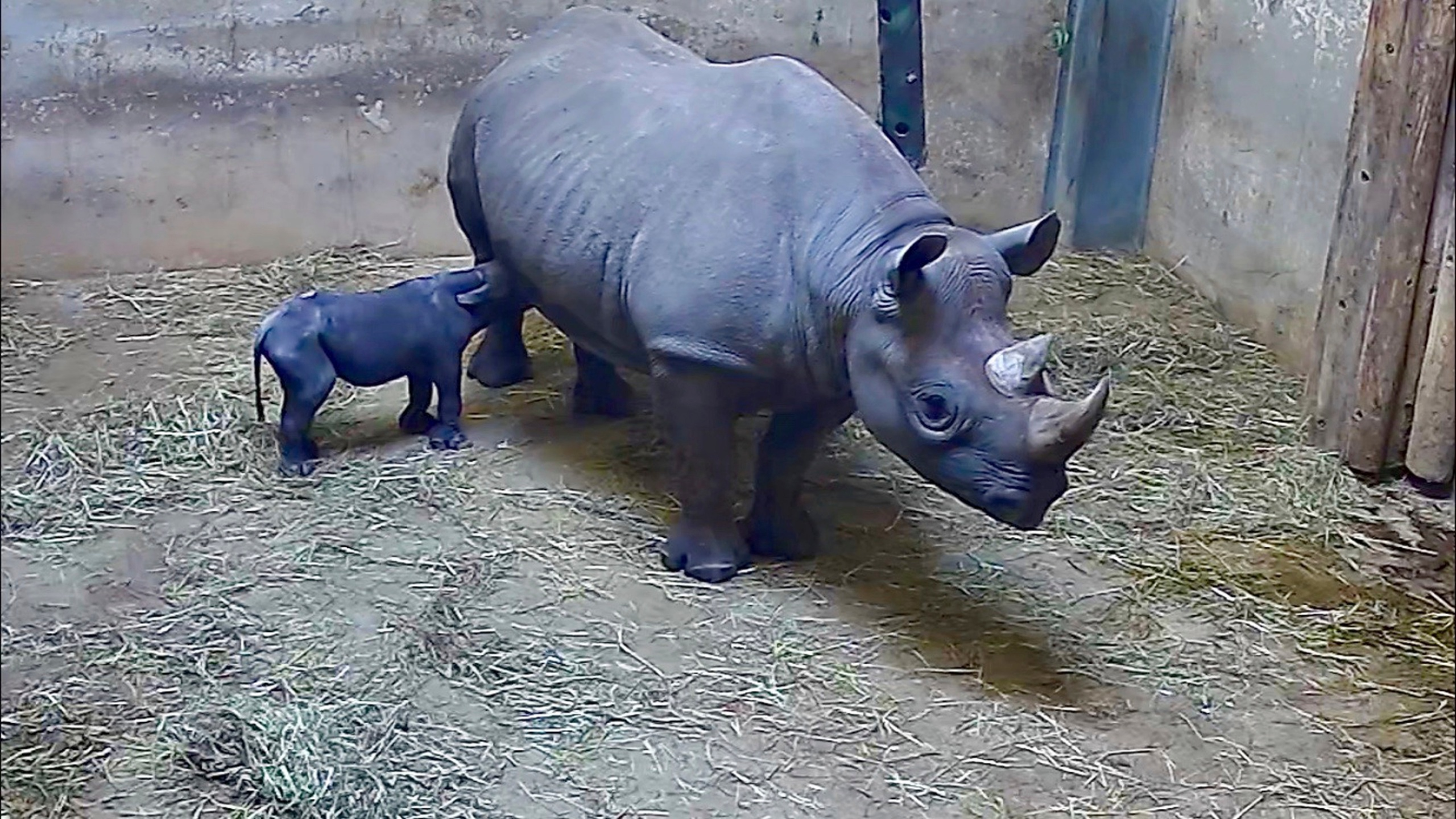 Chicago Zoo Baby Rhino_1558468805172