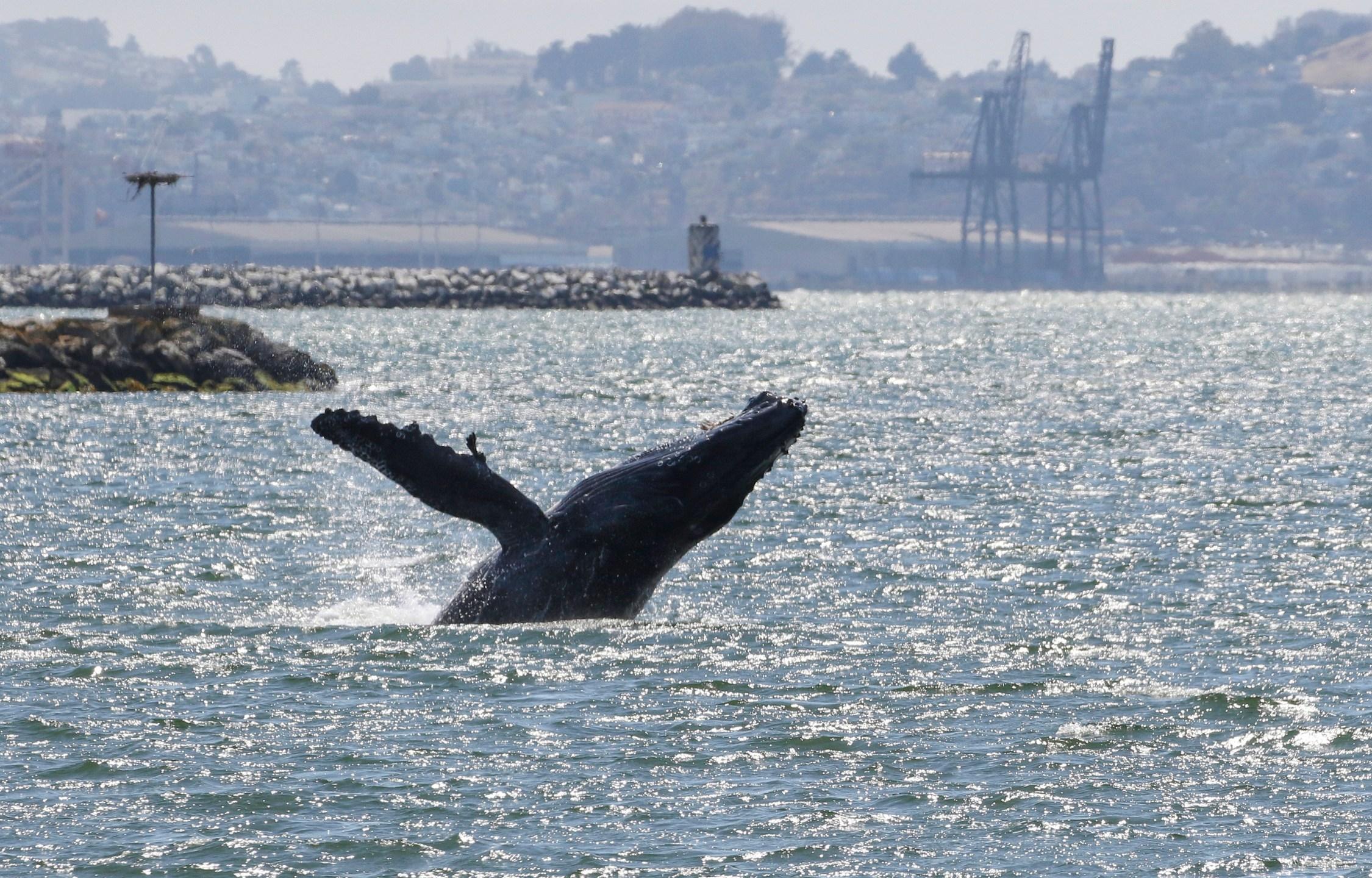 San Francisco Whale_1560801731738