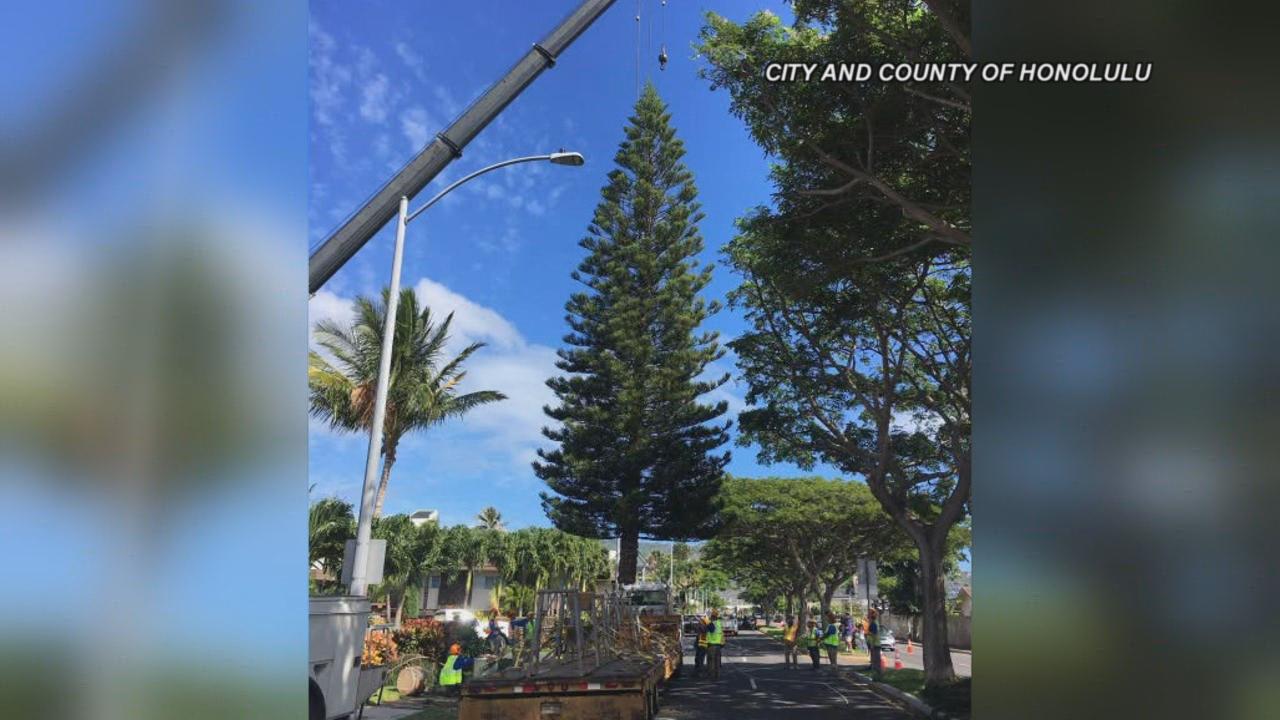 Honolulu Hale Christmas 2020 2019 Honolulu Hale Christmas tree harvested in Hawaii Kai | KHON2