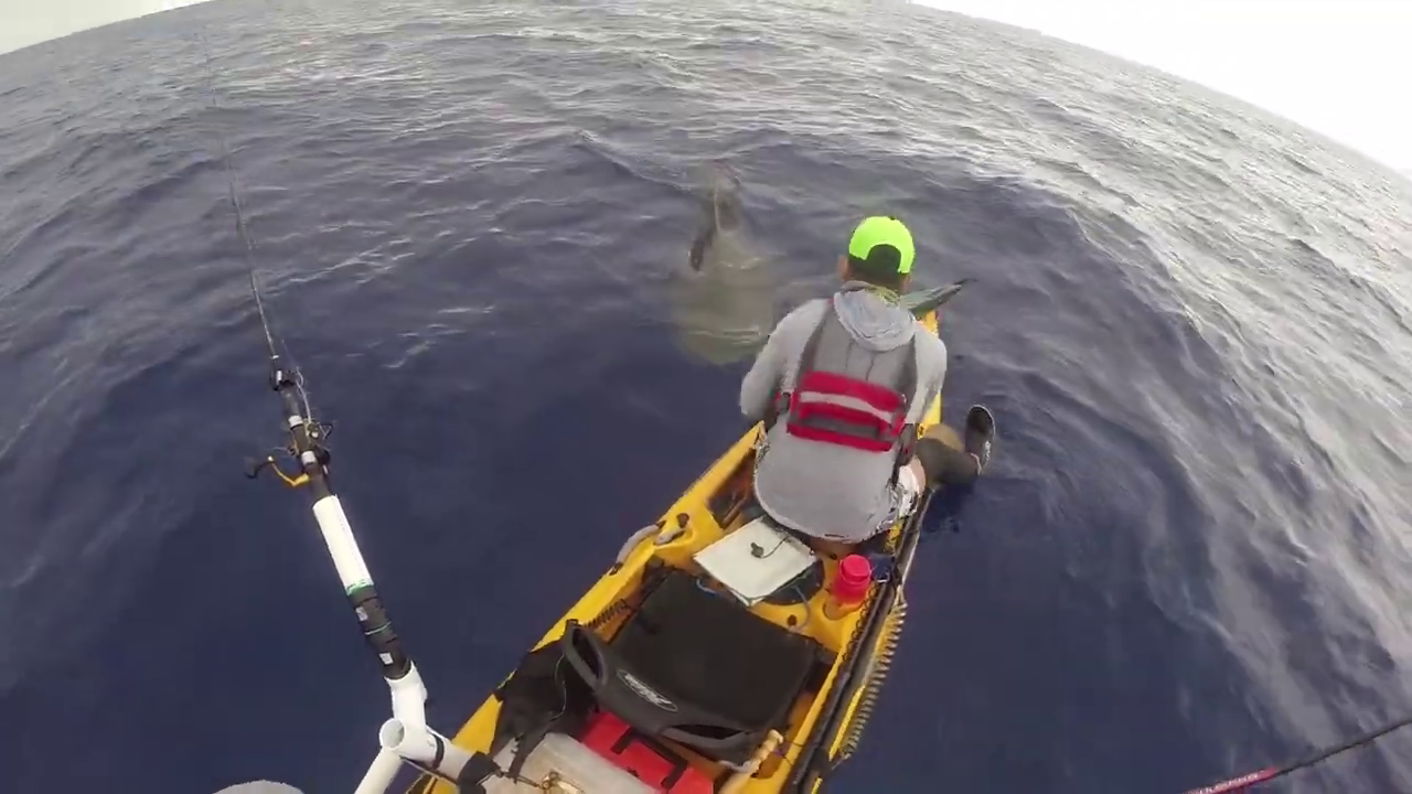 Local fisherman in awe after close encounter with tiger shark