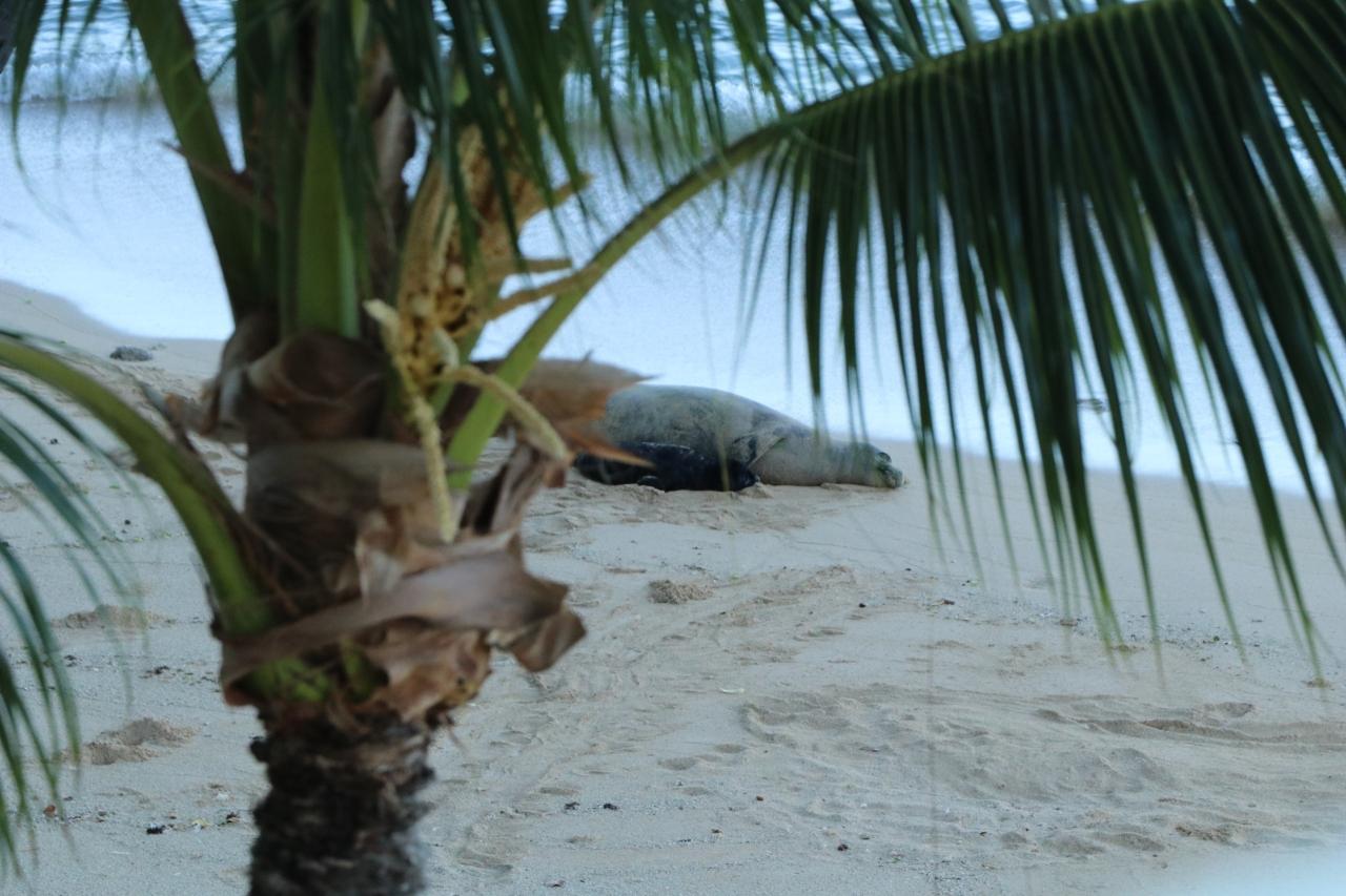 Officials warn Hawaii beachgoers are 'risking their safety' around monk seals