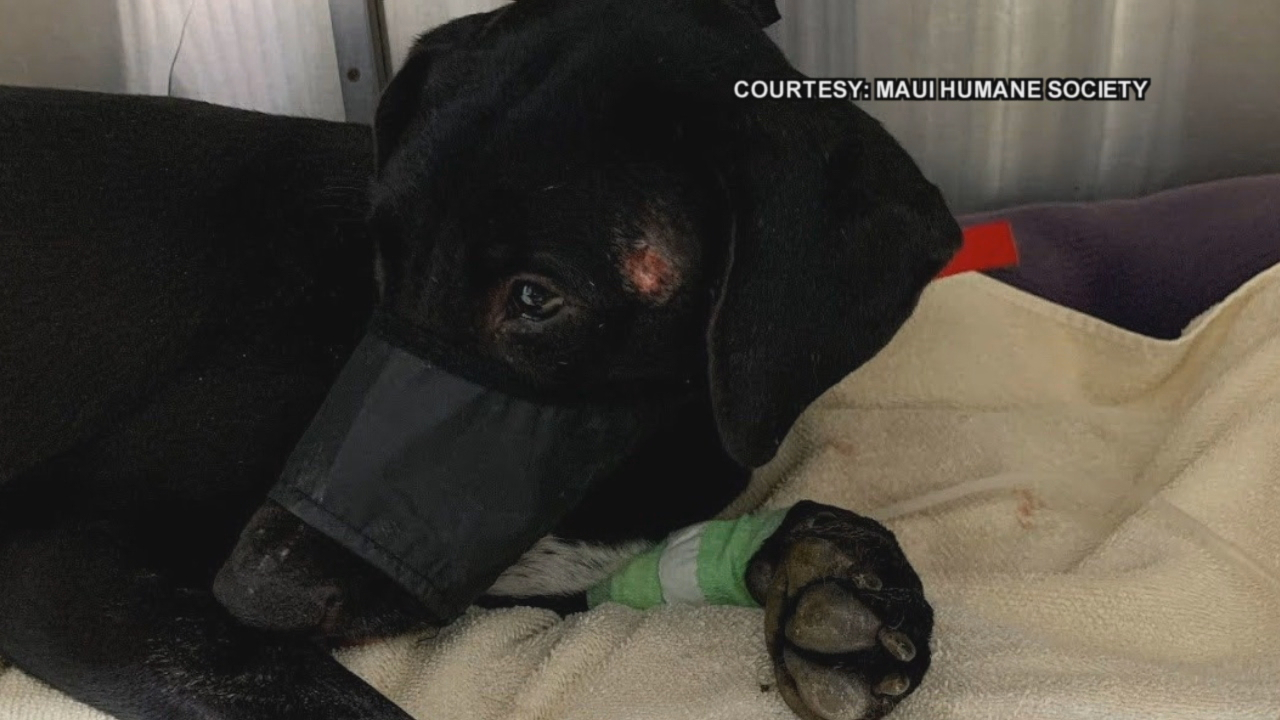 11-month pup on Maui survives being hit by car, shot in head